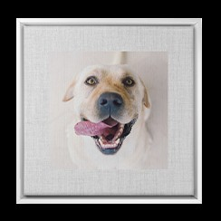 Framed photo of labrador on canvas print